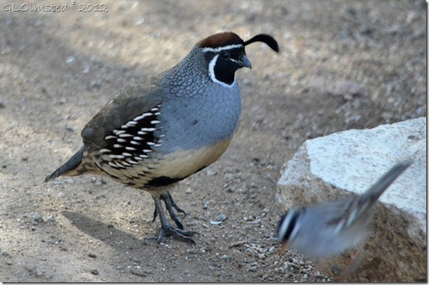 01 660 Gambel quail & white-crowned sparrow Yarnell AZ (1024x677)
