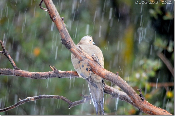 01 Morning dove in snow Yarnell AZ (1024x678)