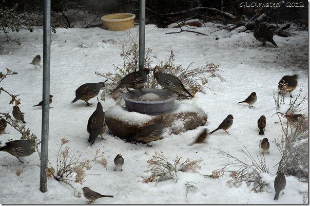 01 Sparrows & quail in snowy Yarnell AZ (1024x678)