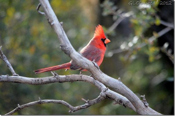 02 Northern Cardinal Yarnell AZ (1024x678)