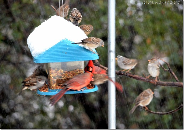 02 Sparrows & cardinals in snow Yarnell AZ (1024x719)