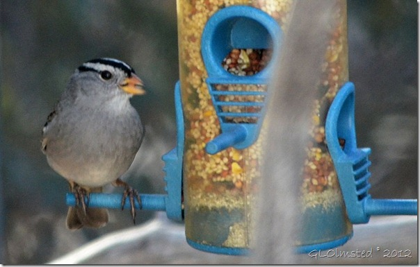 03 005 Male white-crowned sparrow Yarnell AZ (1024x651)