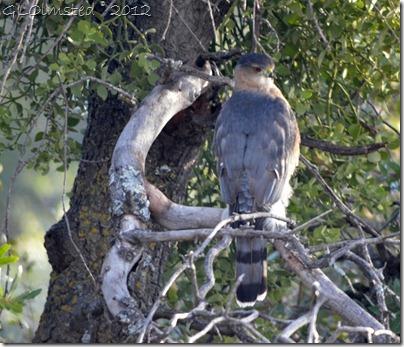 04 Coopers Hawk Yarnell AZ (1024x879)