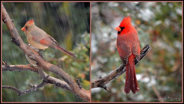 04 Female & male cardinals Yarnell AZ (1024x576)