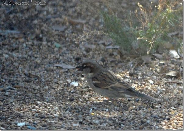 05 654 House sparrow Yarnell AZ (1024x728)