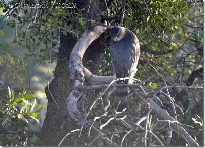 05 Coopers Hawk Yarnell AZ (1024x738)