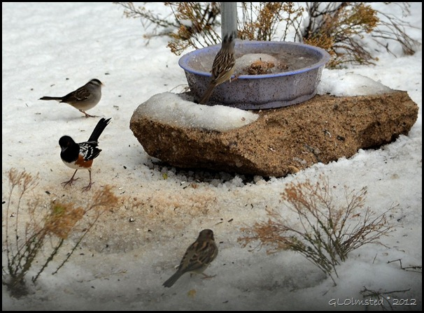 06 Towhee and sparrows on snow Yarnell AZ (1024x755)