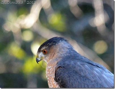 08 672 Coopers Hawk Yarnell AZ (897x696)
