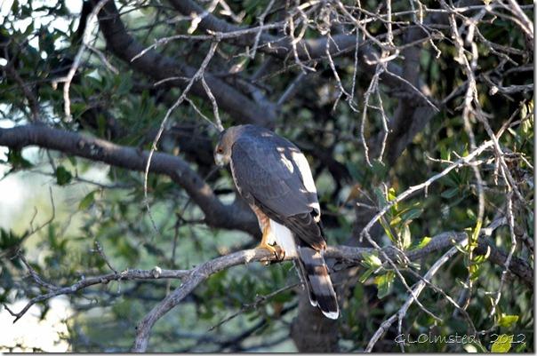 09 674 Coopers Hawk Yarnell AZ (1024x678)