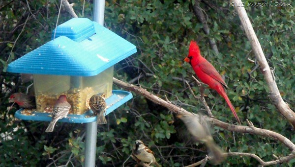 Finches sparrows cardinal Yarnell AZ
