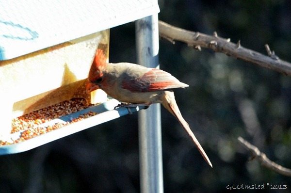 Pyrrhuloxia or cardinal on feeder Yarnell AZ