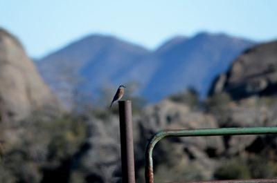 Western Bluebird Weaver Mts Yarnell AZ