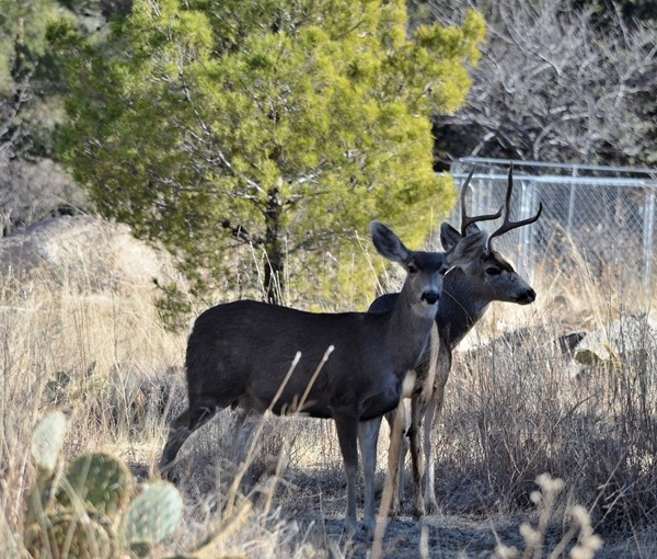 Two mule deer Yarnell AZ