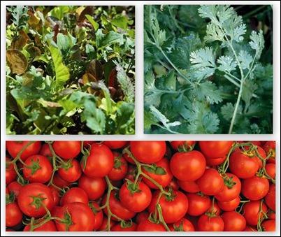 organic tomatoes, cilantro & lettuce