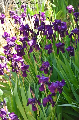 Iris Yarnell AZ