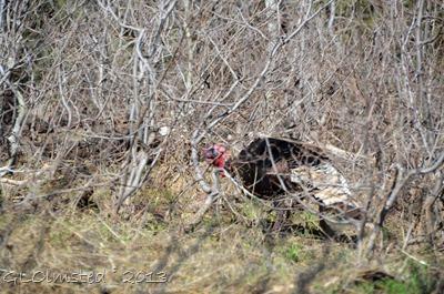 Meriams turkey NR GRCA NP AZ