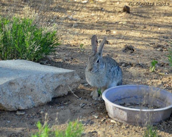 Rabbit Yarnell AZ