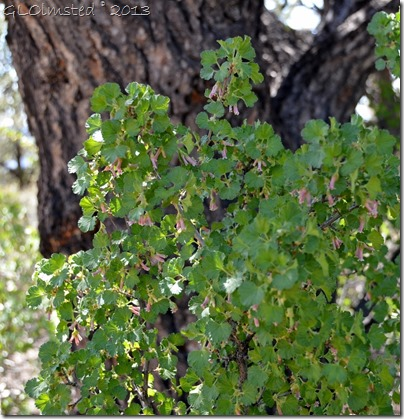 Flowering currants along Cape Royal trail NR GRCA NP AZ
