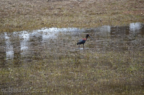 White-faced Ibis NR GRCA NP AZ