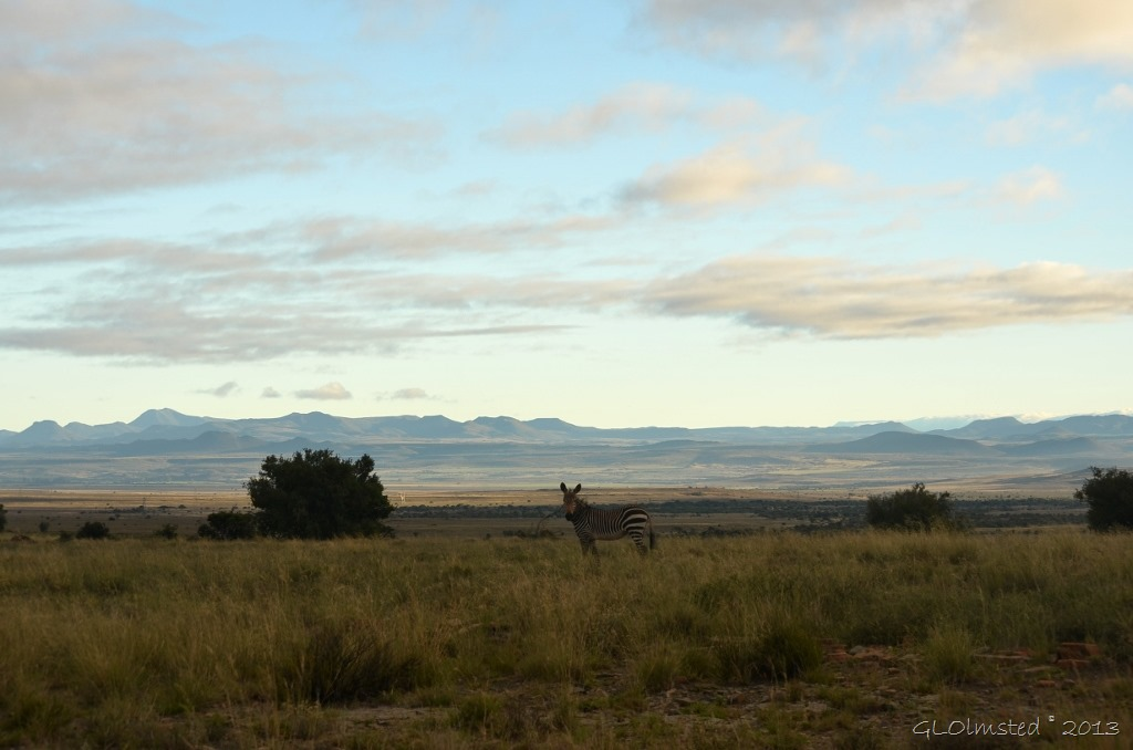 Mountain Zebra at Mountain Zebra National Park Eastern Cape South Africa