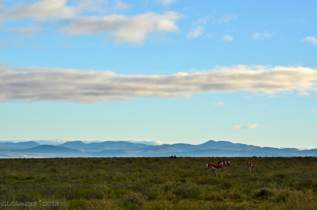 Springboks Mountain Zebra National Park Eastern Cape South Africa