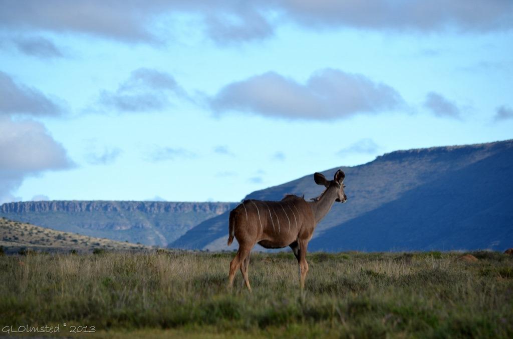 Kudu Mountain Zebra National Park Eastern Cape South Africa