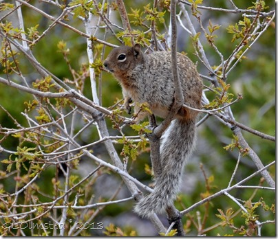 Rock squirrel North Rim Grand Canyon National Park Arizona