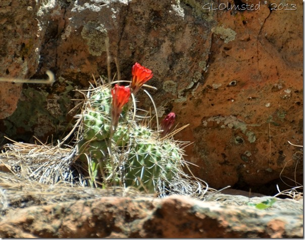 Claretcup Hedgehog cactus Cliff Spring trail North Rim Grand Canyon National Park Arizona