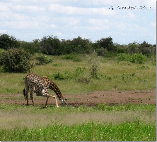 Giraffe drinking water Kruger National Park Mpumalanga South Africa
