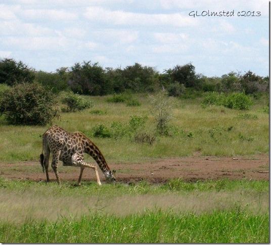 Giraffe drinking water Kruger National Park Mpumalanga South Africa